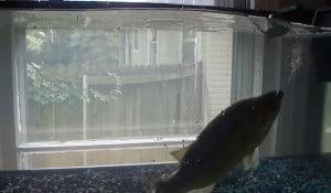 largemouth bass mouse