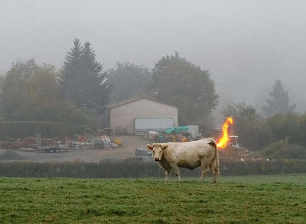 Perfectly Timed Photo Cow