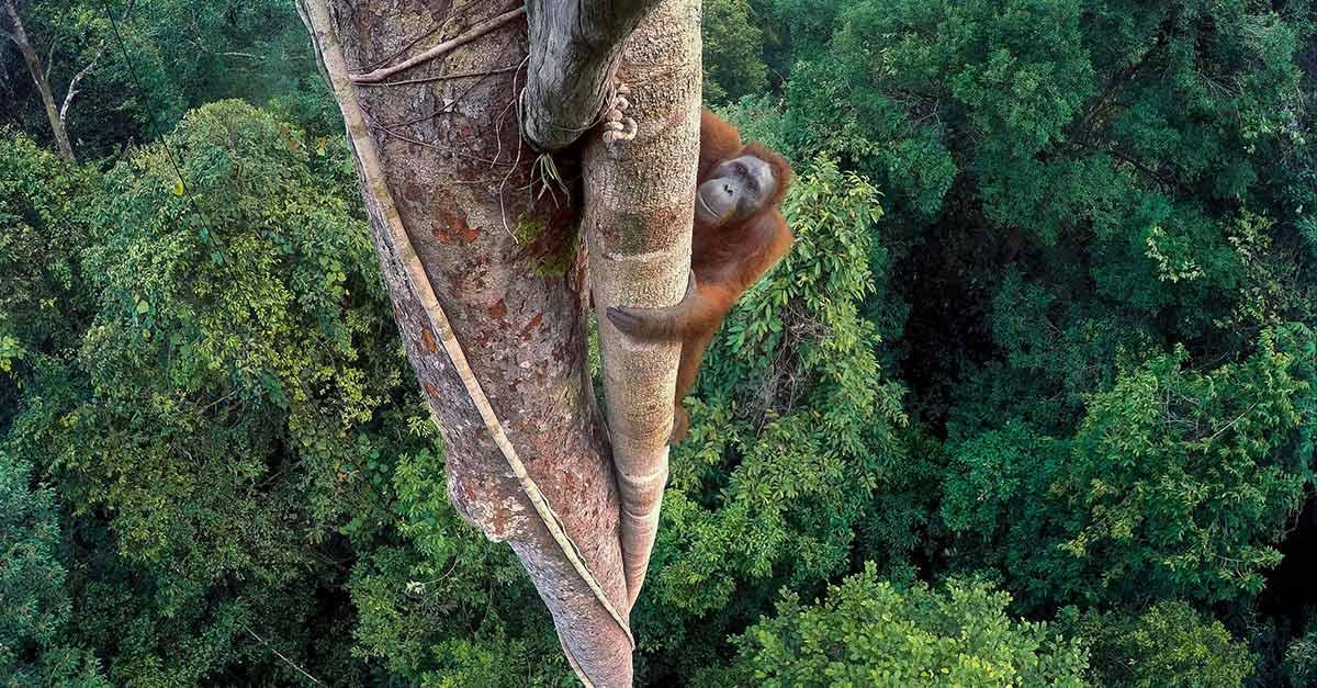 orangutan_tree