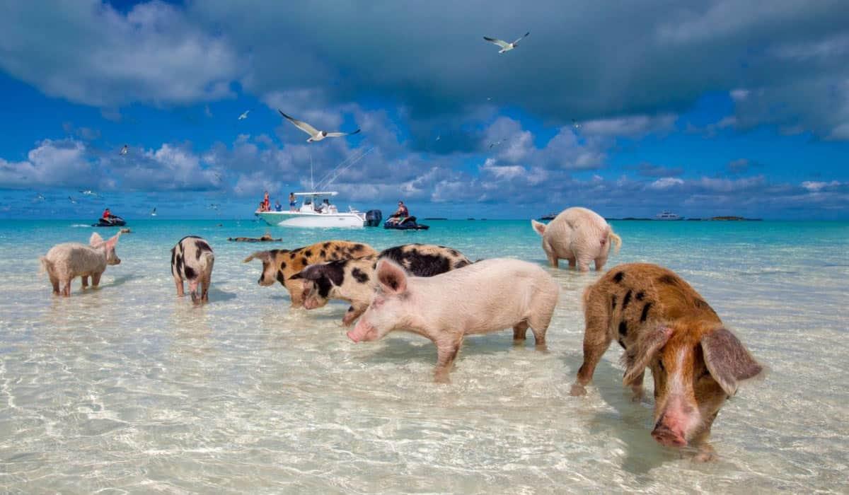 Pig Beach(trubahamianfoodtours)